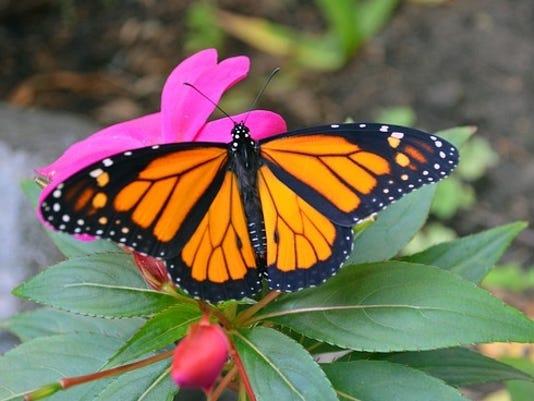 635774771365520668-monarch