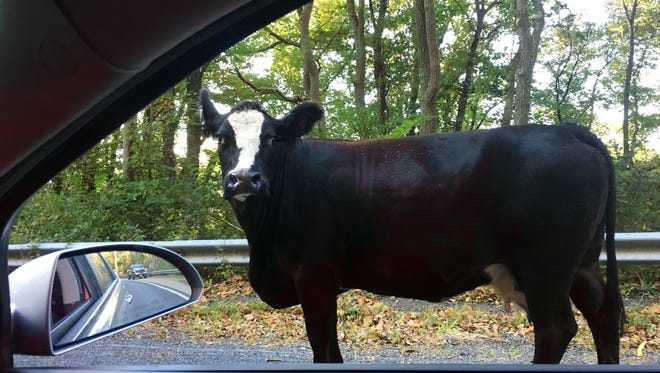 In this photo provided by the New Jersey State Police, Sgt. 1st Class Jeff Flynn passes a cow on his way to headquarters Thursday, Oct. 5, 2017, in Stockton, N.J. Flynn said the cow's farmer arrived and with the help of another trooper, they managed to get the cow back to its farm on the other side of the highway.
