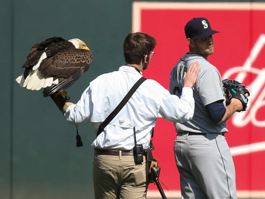 This eagle tried to land on the shoulders of Mariners