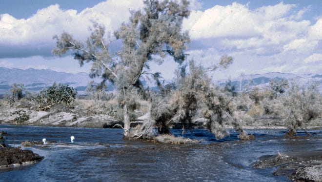 Smoke Tree at bloom during the flood of 1945.