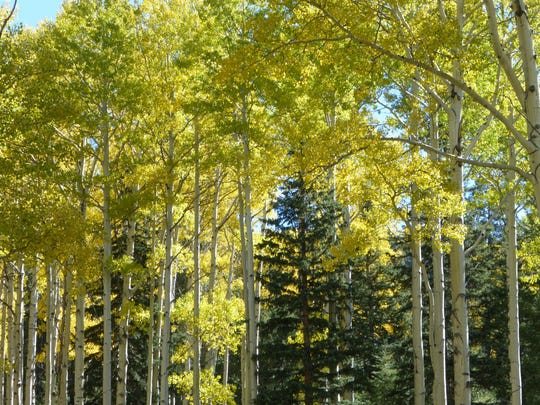 My best hike for fall color was the Kachina Trail high up the slopes of the San Francisco Peaks.