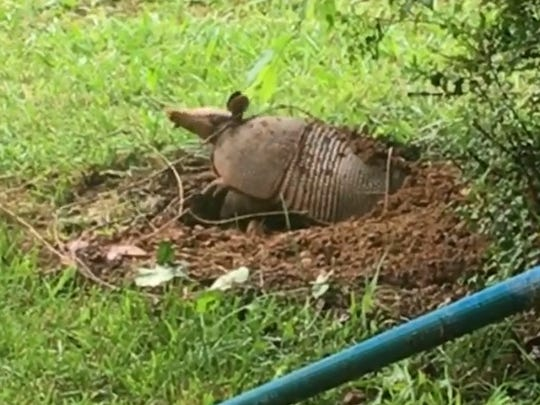 A photo from a video Cierra Parker took of an armadillo