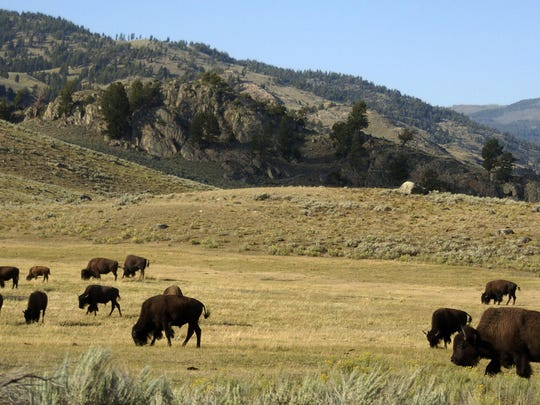 A herd of bison graze in the Lamar Valley of Yellowstone National Park.