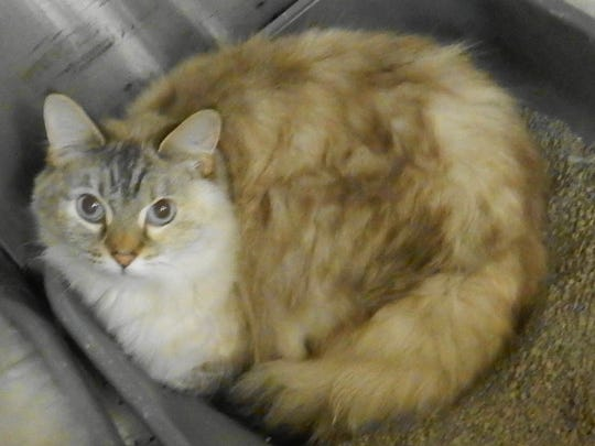 Dolly Purrton is a 5-year-old, spayed, female, long-haired