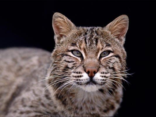 Bobcats -- Credit Indiana Department of Natural Resources.