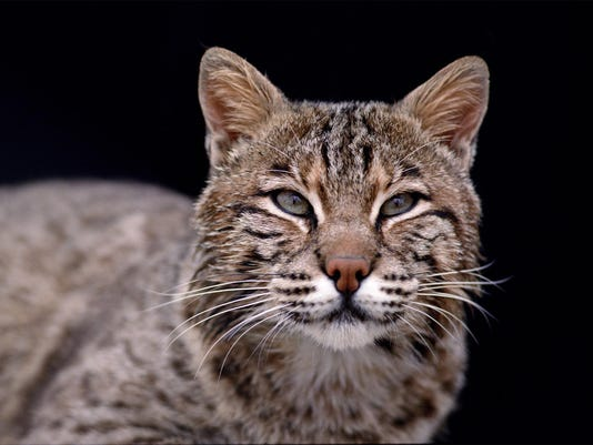 Bobcats -- Credit Indiana Department of Natural Resources.
