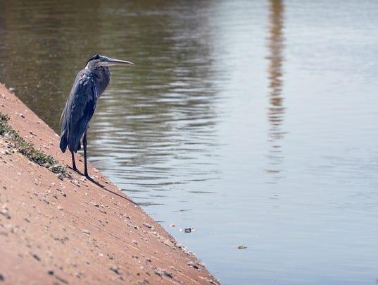 Blue Heron at Sikes Lake