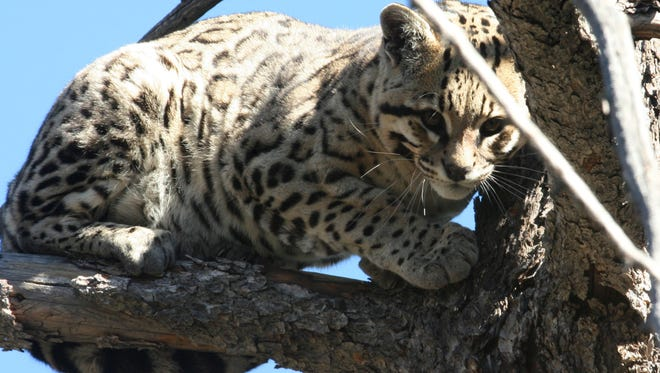 The Endangered Species Act has recognized and protected ocelots as an endangered species since 1982.