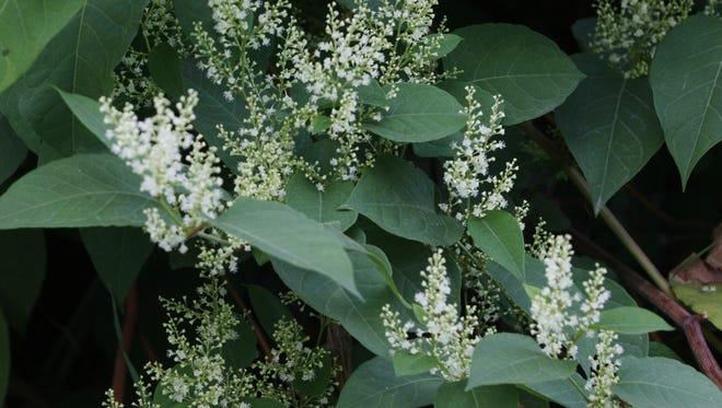 Japanese Knotweed is an invasive species.