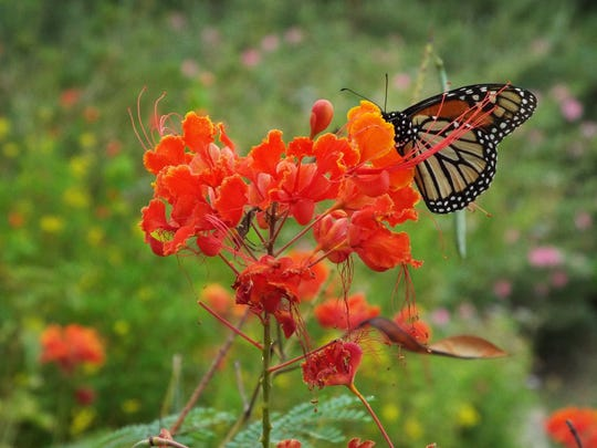 A monarch butterfly feeds from a Pride of Barbados