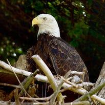 Eagles in Wisconsin