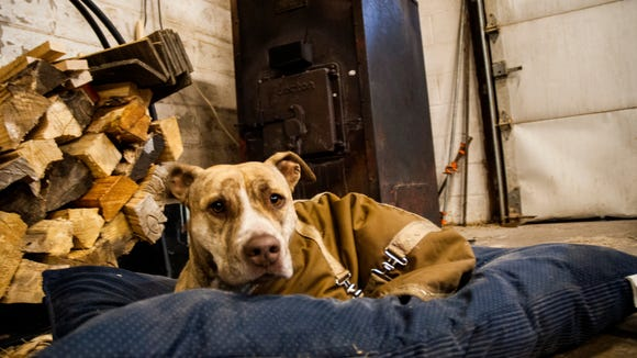 Patrick rescued the shop dog, a pit bull from the city. Koko loves his knew abode and is always with Patrick.