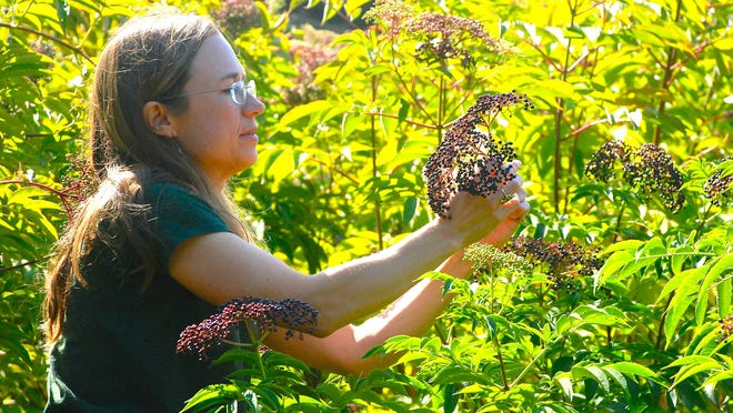 Katie Reneker checks berries on elderberry plants behind her Carmel Valley home. She and her husband Ben are the founders for Carmel Berry Co.