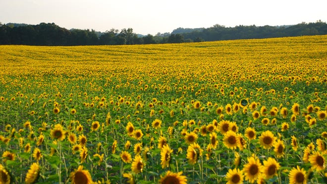 A field of sunflowers I saw in Maryland. This photo does not show but a small part of the glorious sight I saw. They were so tall it was hard to find a place where I could take a photo showing the distance they covered.