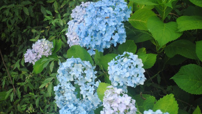 This lovely blue-flowered mophead grows in a raised bed in the backyard, under two large trees, where the amount of sunlight and shade in the area is perfect. Just look at these lovely, large blue blossoms.