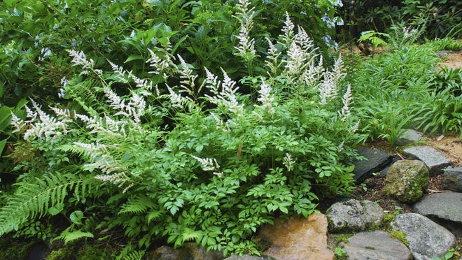 Astilbe in the shade garden.