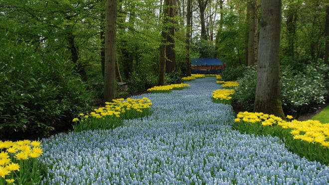 A stream of Muscari planted in the woods with yellow tulips on either side. It looks like a river of flowers.  This photo was taken in Keukenhof Garden in Holland. It has inspired me to create a little stream of them in my garden.