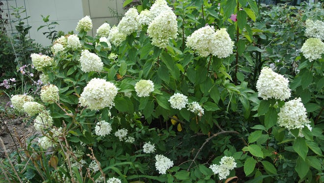 """Hydrangea paniculata, or """"Limelight"""" hydrangeas, are best grown in organically rich, medium moisture, well-drained soils in full sun to part shade."""