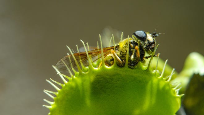 The Venus Flytrap, also known as Dionaea muscipula, thrives in humid, muggy habitats.