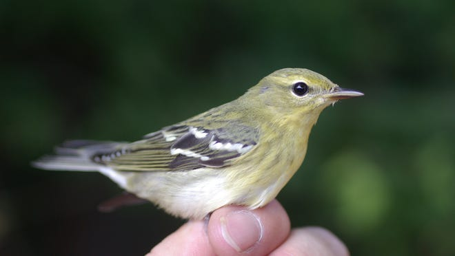This is what the blackpoll warbler looks like in the fall.