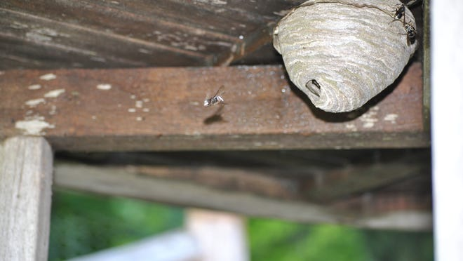 A white-faced hornet nest under a picnic table, filmed seven weeks ago after five people were stung once, each after sitting to enjoy a meal. If the nest was allowed to grow until now and they sat there, it would've been a bad scene.