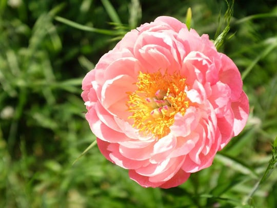 Coral Charm is especially valued as a cut flower and is one of the varieties grown by Richard Currie, owner of Styer's Peonies in Chadds Ford, Pa.