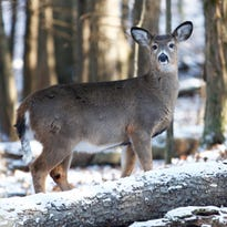 Deer population booms, relatively tame on Binghamton University's campus