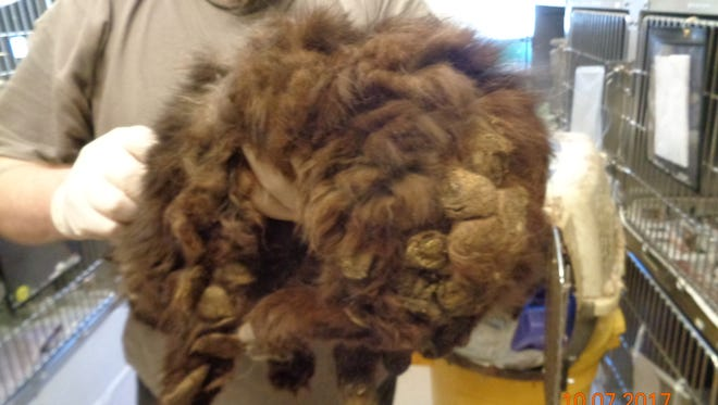 This cat, covered with matted fur, was one of 60 seized from a West Whiteland Township, Pa., home on Tuesday.