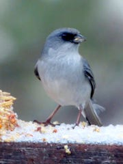 A junco stands on a ledge os ice to peck at a seed bell.