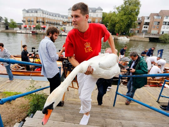 A Queens Swan Marker holds a swan during the annual