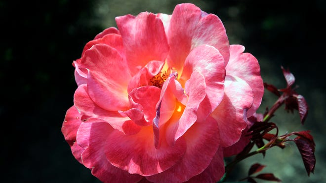 Roses have begun to bloom at the 17-acre Schedel Arboretum and Gardens in Elmore.