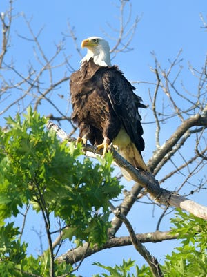 WEST BROOKFIELD - The feathers of a banded bald eagle are ruffled in the breeze off Lake Wickaboag on Saturday. A pair of eagles has lived on or near the 320-acre manmade lake for years.