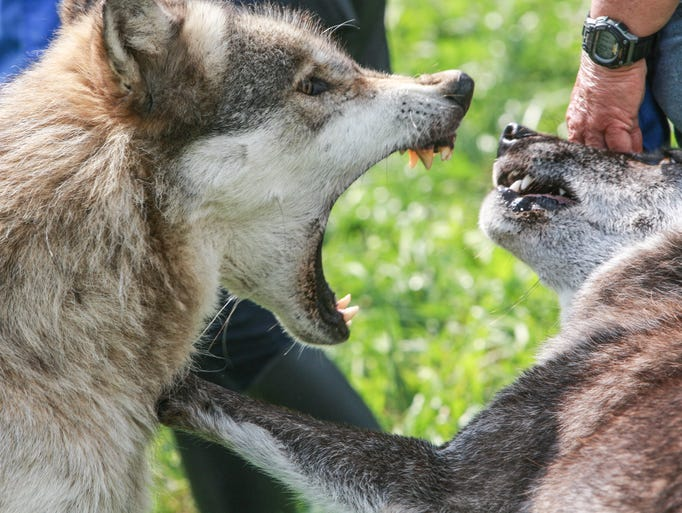 In August Leslie Bailey checked out Wolf Park in Battleground, Ind., to interact with wolves and fox kits. Wotan (left) and Dharma have a small disagreement.