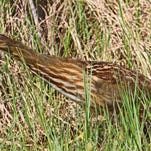An American bittern stealthily stalks its prey along the grassy edge of the Viera, Florida, Nature Center.