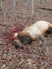 This elk was shot and its antlers were removed with