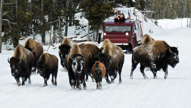 Bison roam Yellowstone National Park as a snowcoach follows behind.