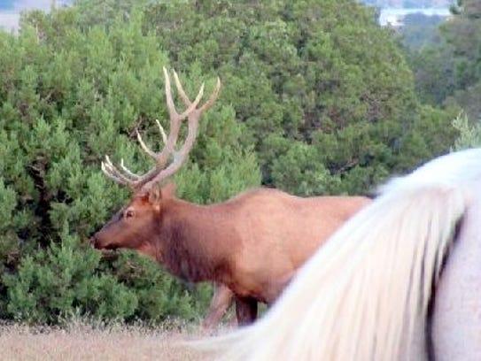 Carefully navigating past Thunder, a bull elk keeps