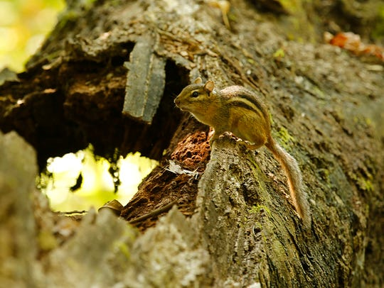 A chipmunk sits on a fallen tree in Hobbs Woods Wednesday