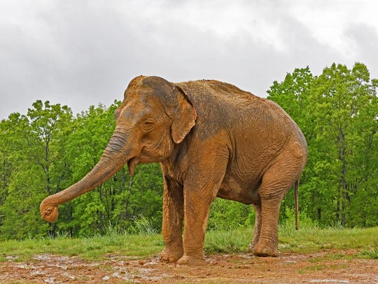 Playing in the mud, Shirley, an Asian elephant who
