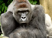 Harambe, a 17-year-old western lowland gorilla, was killed yesterday after a four-year-old boy crawled through a barrier and fell into the moat in the gorilla enclosure at the Cincinnati Zoo and Botanical Garden. The gorilla dragged the boy around before emergency responders shot and killed the gorilla. The boy sustained non-life threatening injuries.