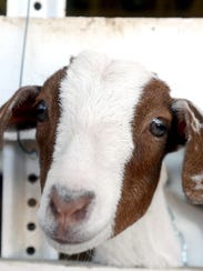 A goat pokes its head through a gap in the wooden fence