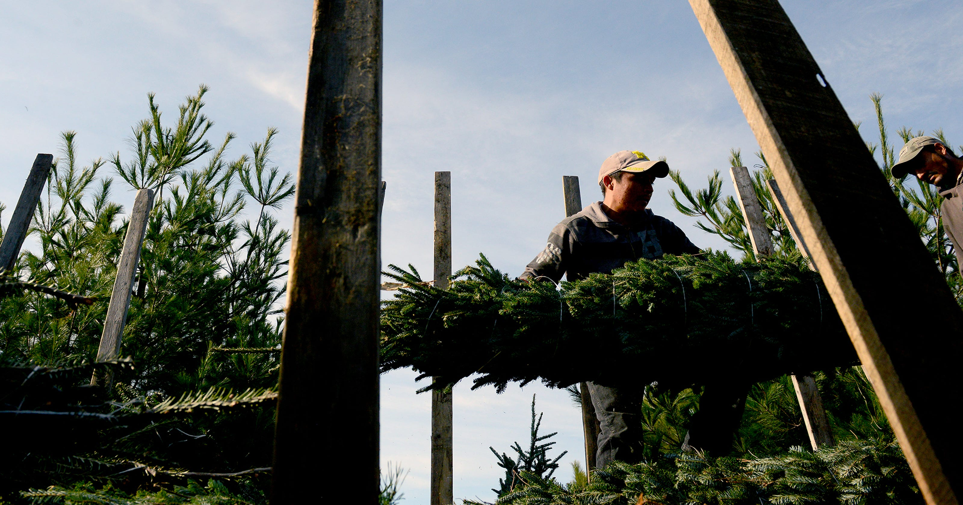 Where do Christmas trees come from? Michigan!