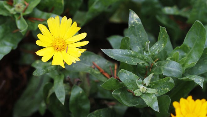 Calendula officinalis, or pot marigold, is good for your skin, attracts beneficial bugs and is edible.