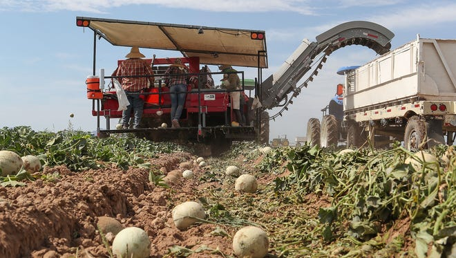 A mechanized melon picker is used to harvest cantaloupes at Fisher Ranch in Blythe, Ca., July 9, 2018.