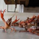 Minnesota says 'no' to crawfish found in lake
