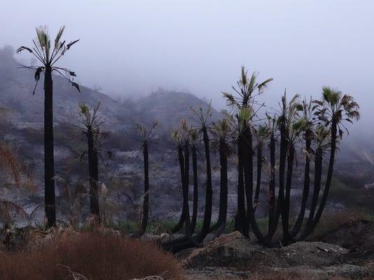 Thomas Fire morning palms.jpg