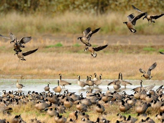 Dusky Canada geese winter at Baskett Slough National Wildlife Refuge near Dallas.