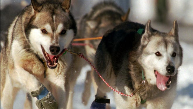 Lead dogs on musher Rollin Westrum's team charge through the streets of Anchorage Saturday as the Iditarod gets underway in 1995.