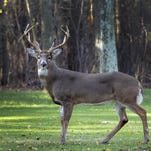 What is killing deer in Western North Carolina other than hunters?