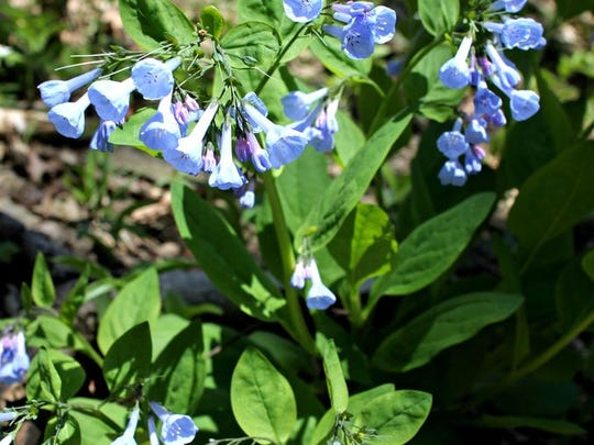 Bluebells are an annual spring occurrence in the Delshire Preserve in Delhi Township. The property is owned and cared for by the Western Wildlife Corridor.